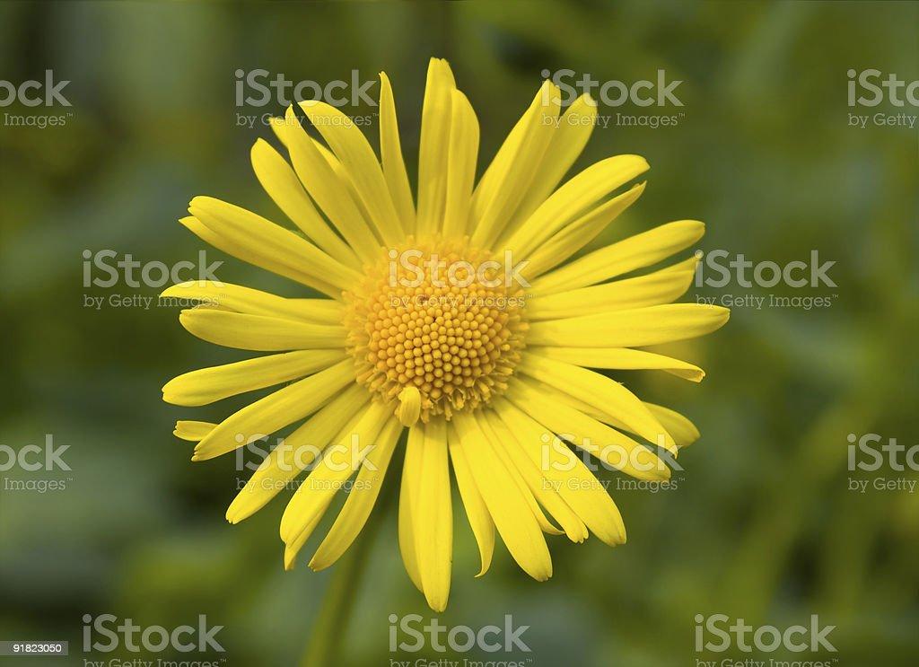 Close-up of yellow daisy royalty-free stock photo