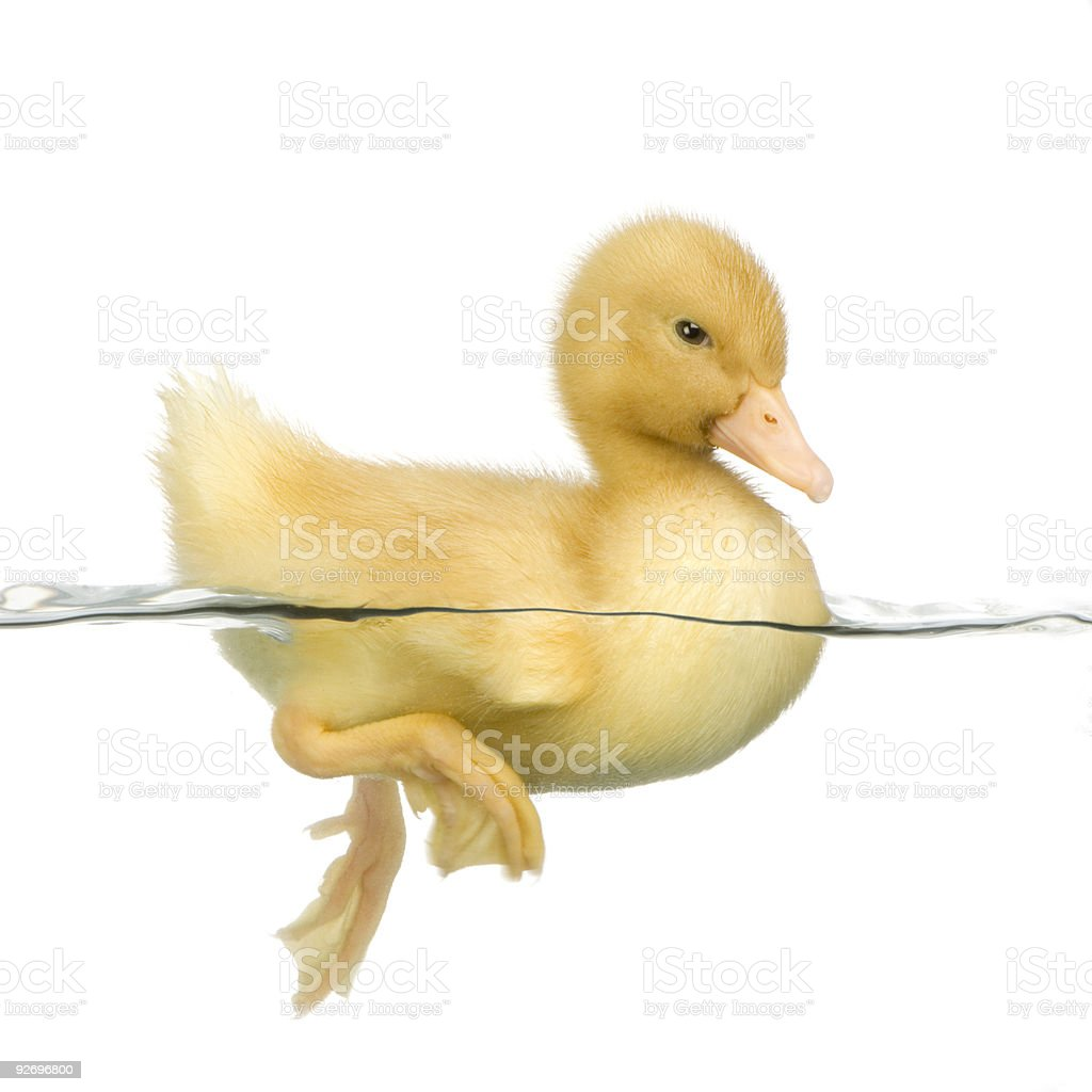 Close-up of yellow duckling swimming royalty-free stock photo