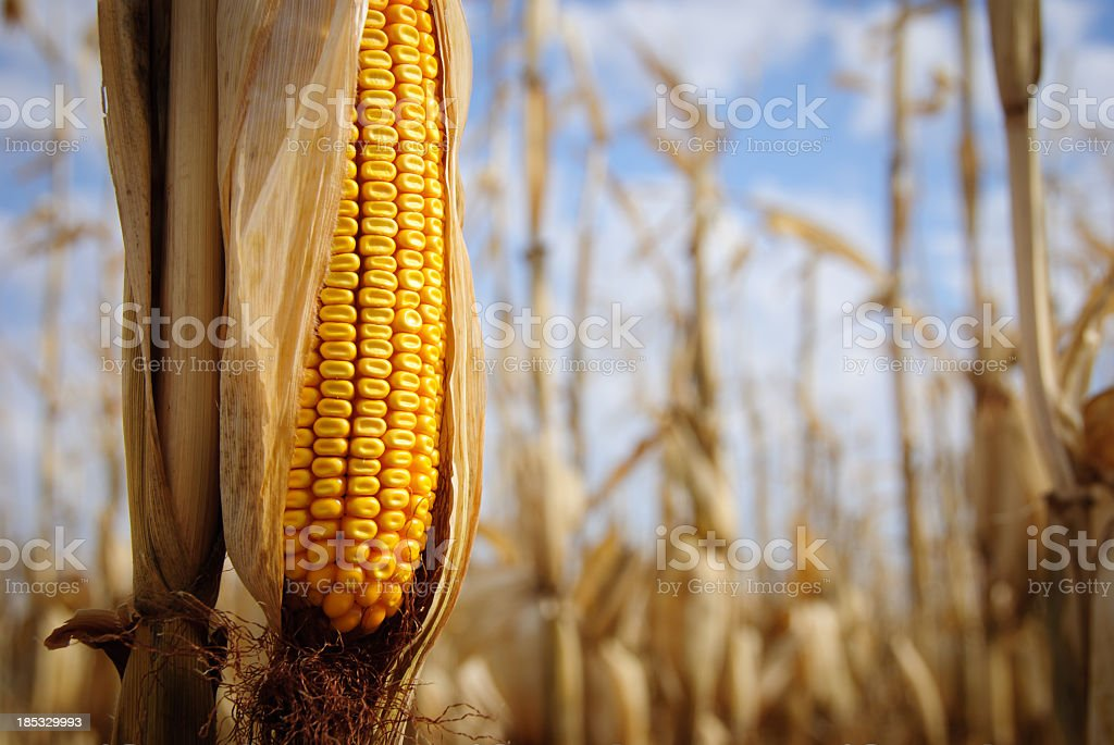 Close-up of yellow ear of corn still on the stalk stock photo