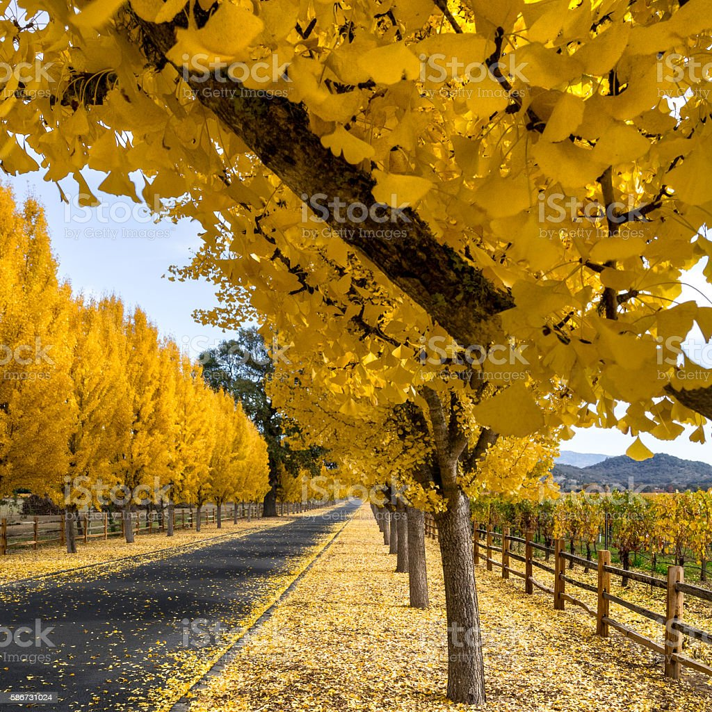 Closeup of yellow gingko trees in Napa vineyard in autumn stock photo