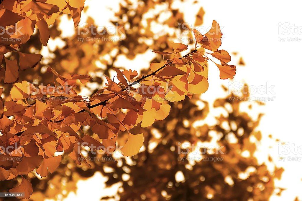Close-up of yellow Ginkgo biloba leaves royalty-free stock photo