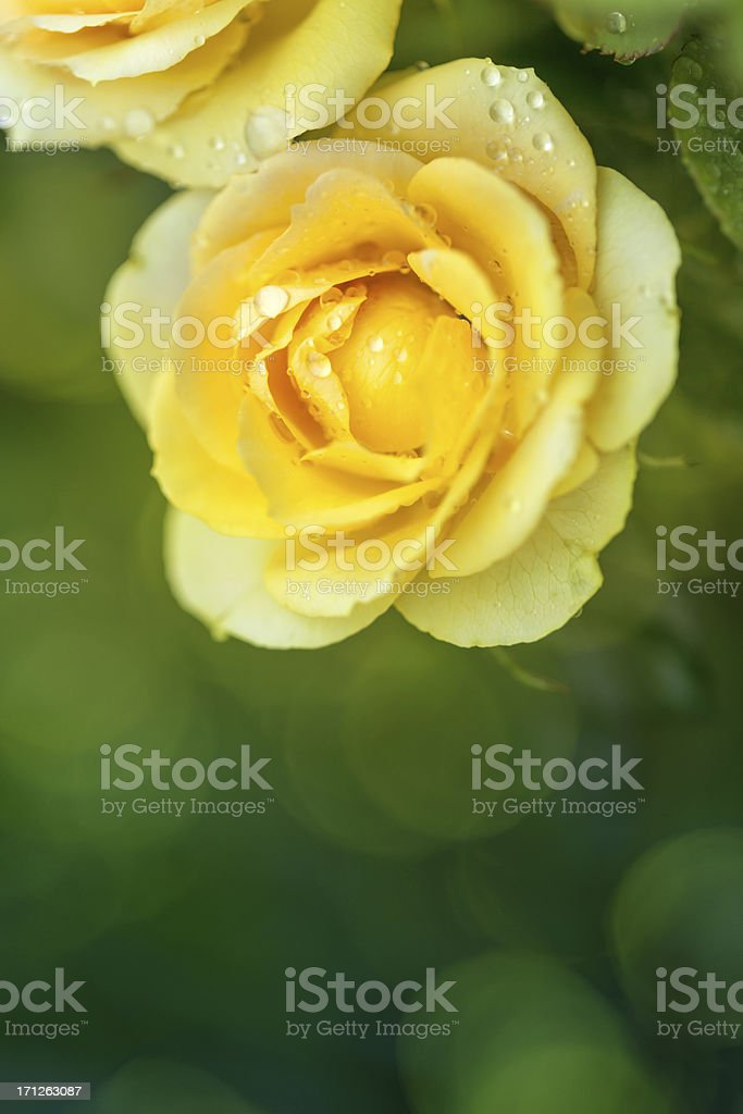 Close-up of yellow roses with defocused lights on background royalty-free stock photo