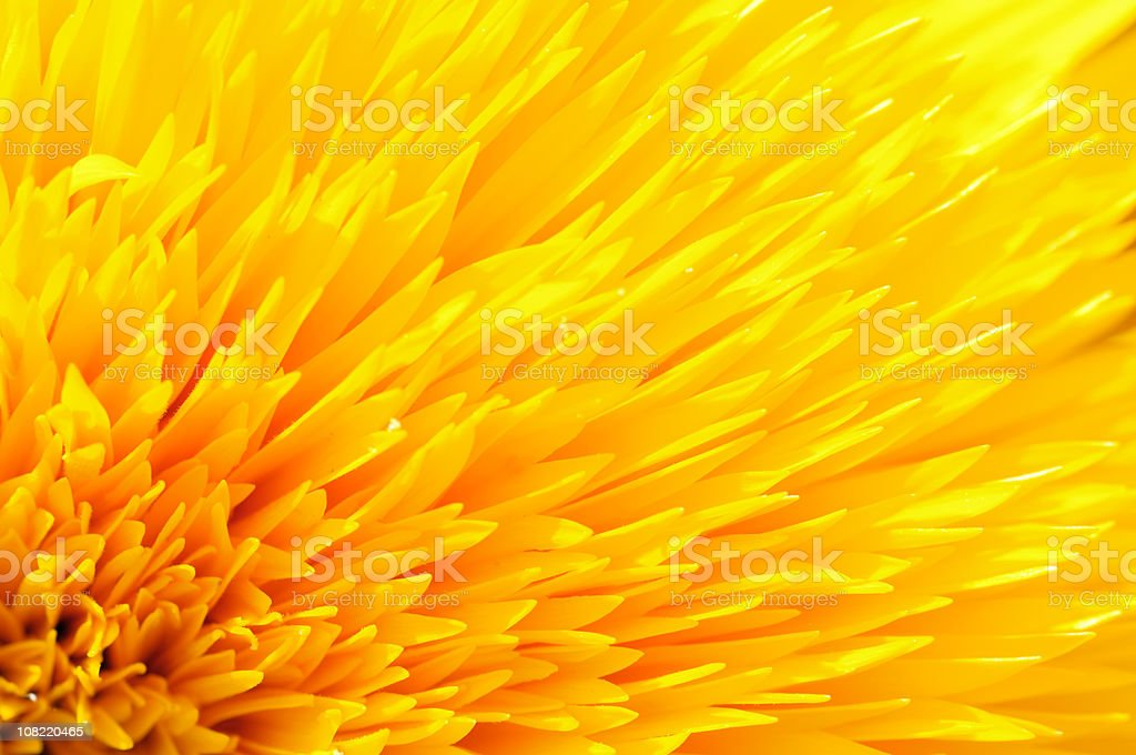 Close-up of Yellow Sunflower Petals stock photo