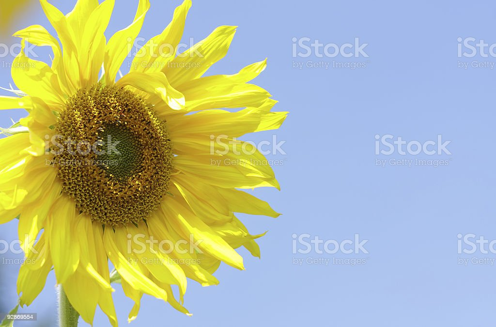 Close-up of yellow sunflower stock photo