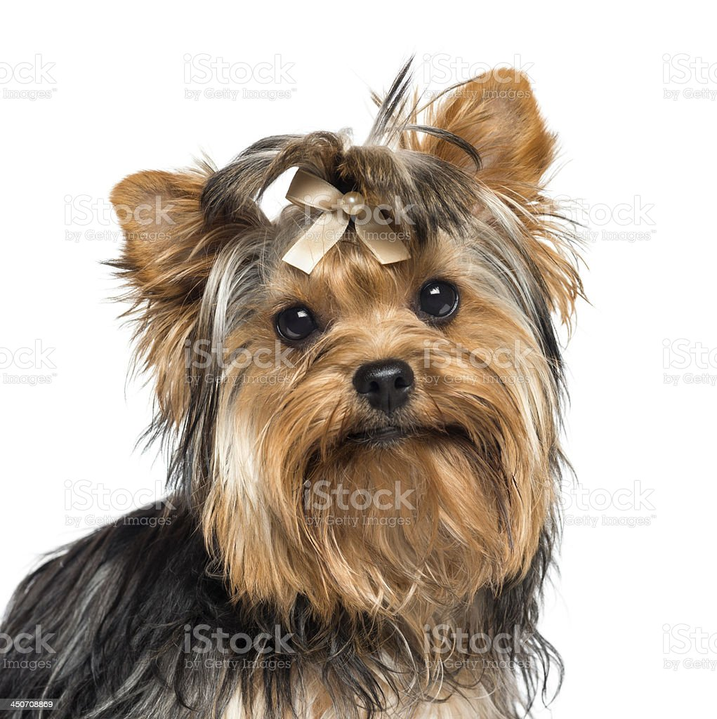 Close-up of Yorkshire Terrier wearing a bow stock photo