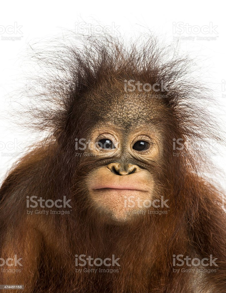 Close-up of young Bornean orangutan facing, looking at the camera stock photo