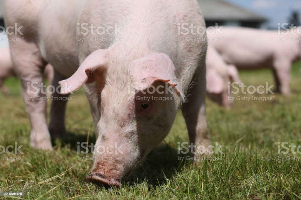 Closeup of young piglet on green background at pig farm stock photo