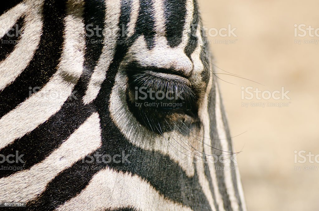 Close-up of zebra eye with long eyelashes stock photo