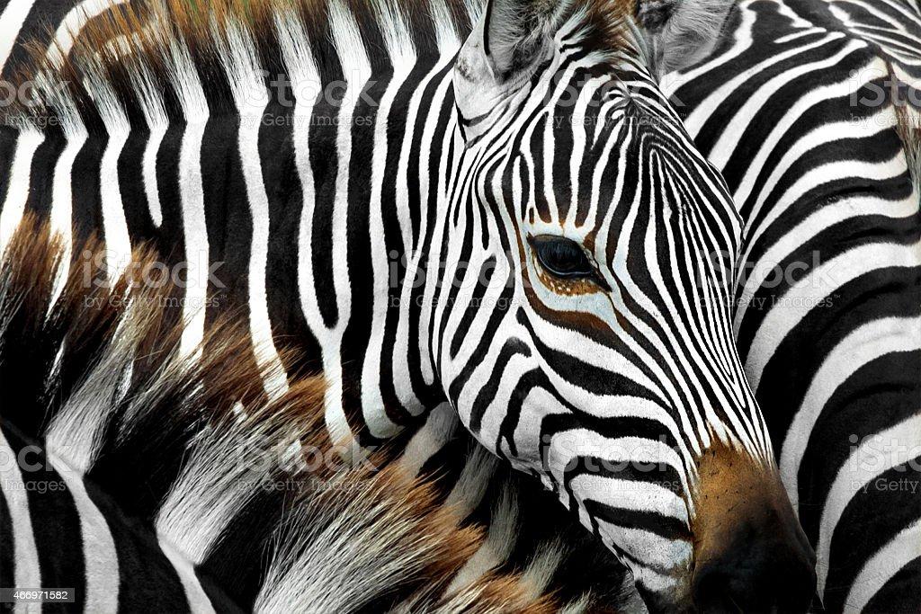 Close-up of Zebras close together stock photo