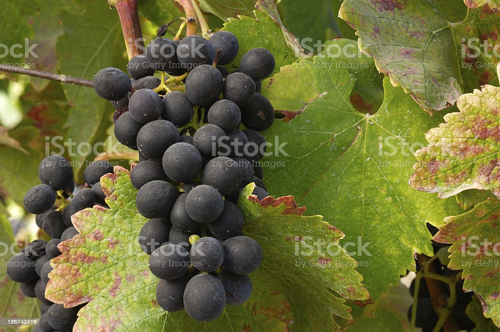 Close-up of Zinfandel Wine Grapes on Vine royalty-free stock photo