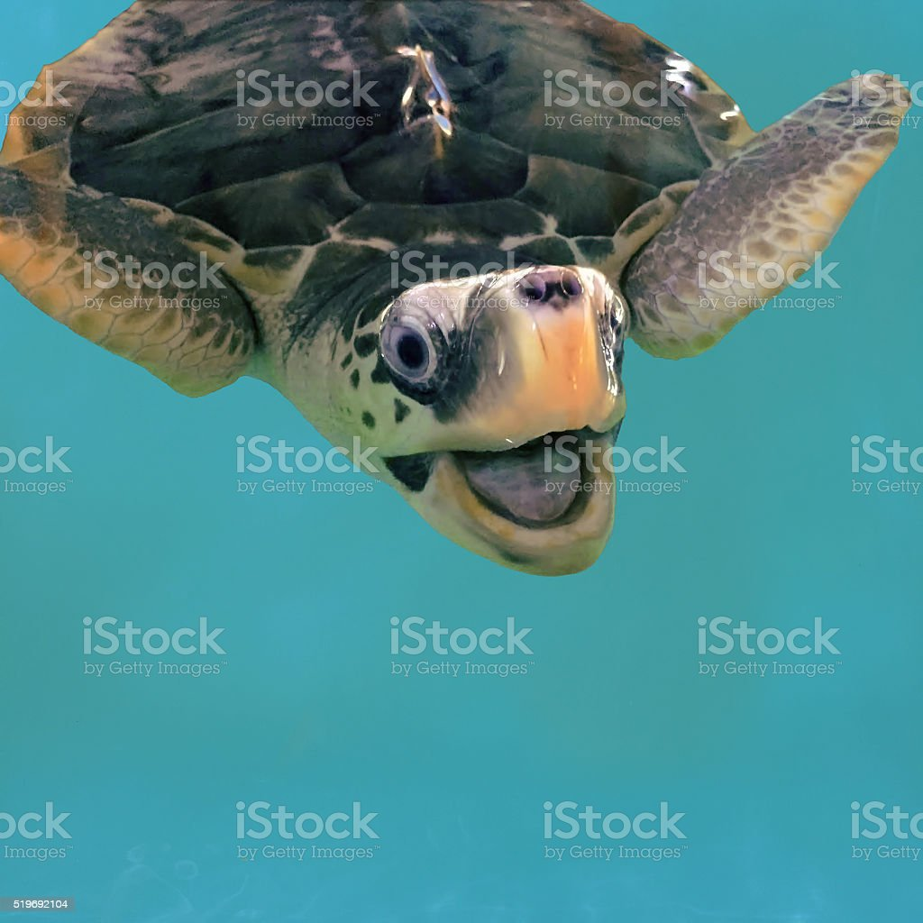 Close-up olive green turtle, sea turtle in blue water stock photo