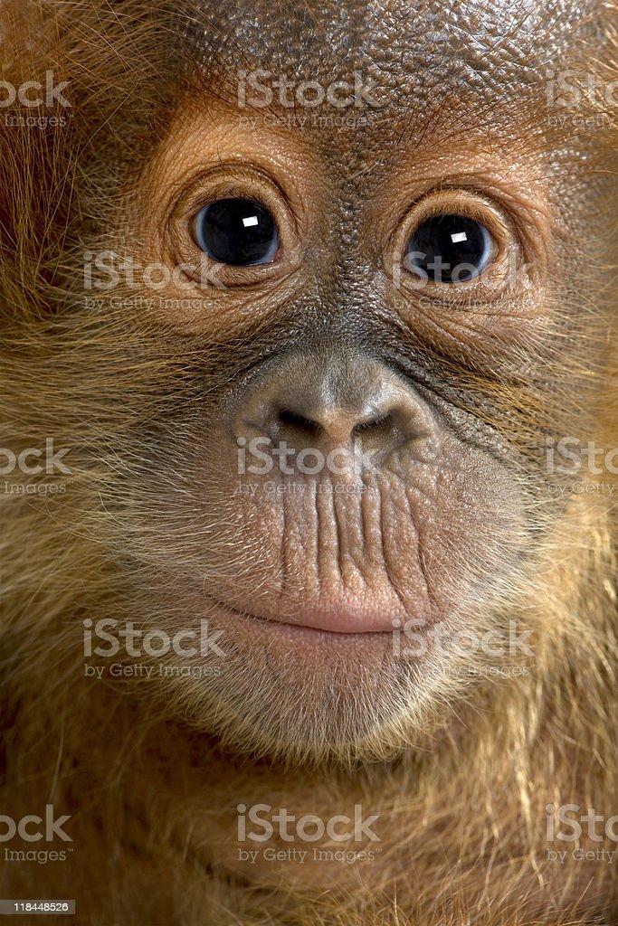close-up on a Baby Sumatran Orangutan (4 months old) stock photo