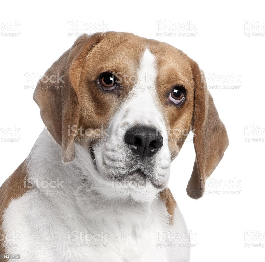 Close-up on a Beagle's head (2 years old) stock photo