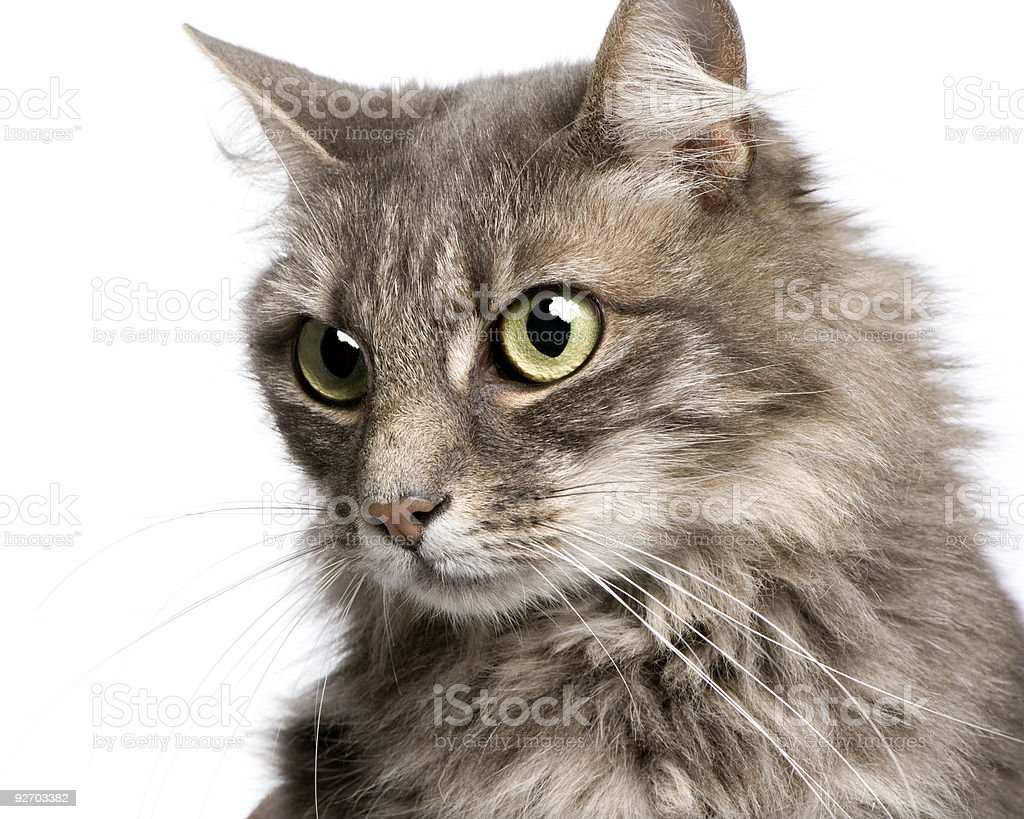 close-up on a Crossbreed angora and european cat (9 years) royalty-free stock photo