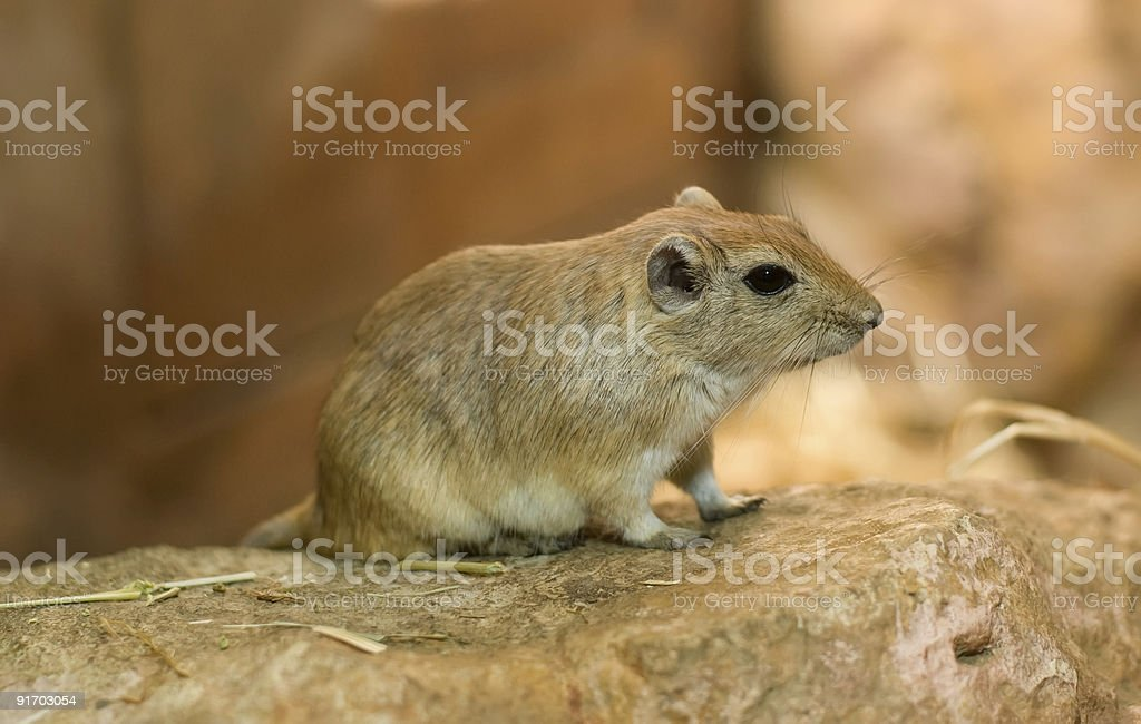 Close-up on brown gerbil royalty-free stock photo