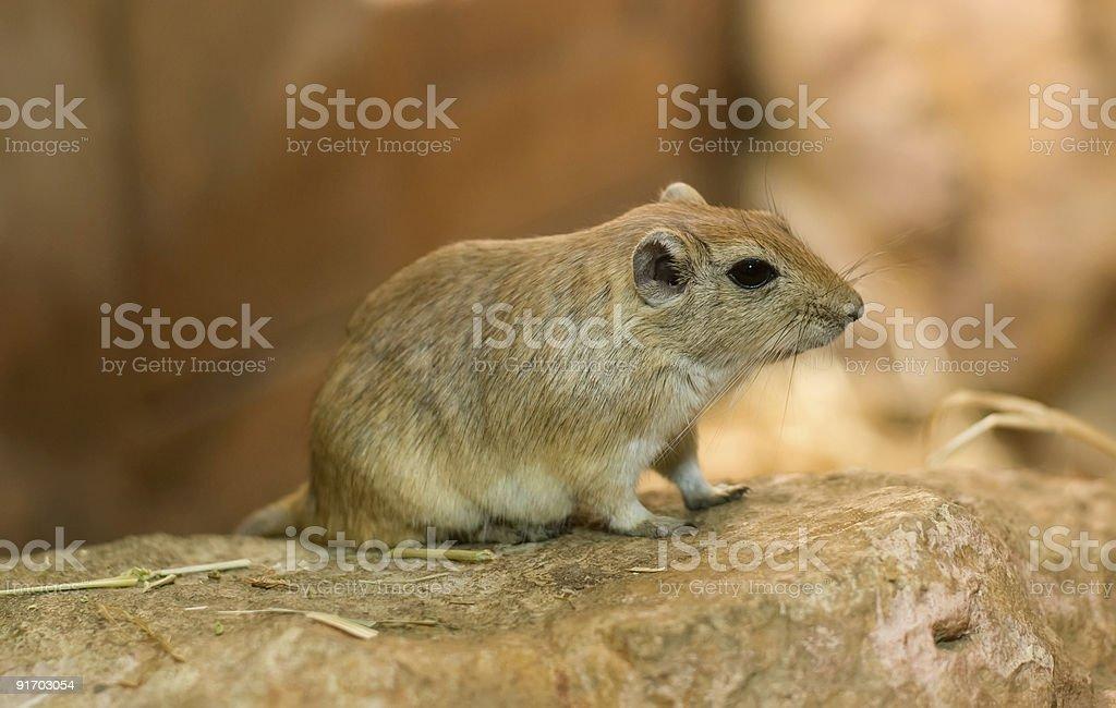 Close-up on brown gerbil stock photo