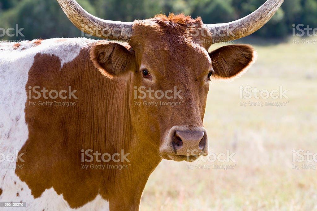 Closeup on face of a Texas longhorn stock photo