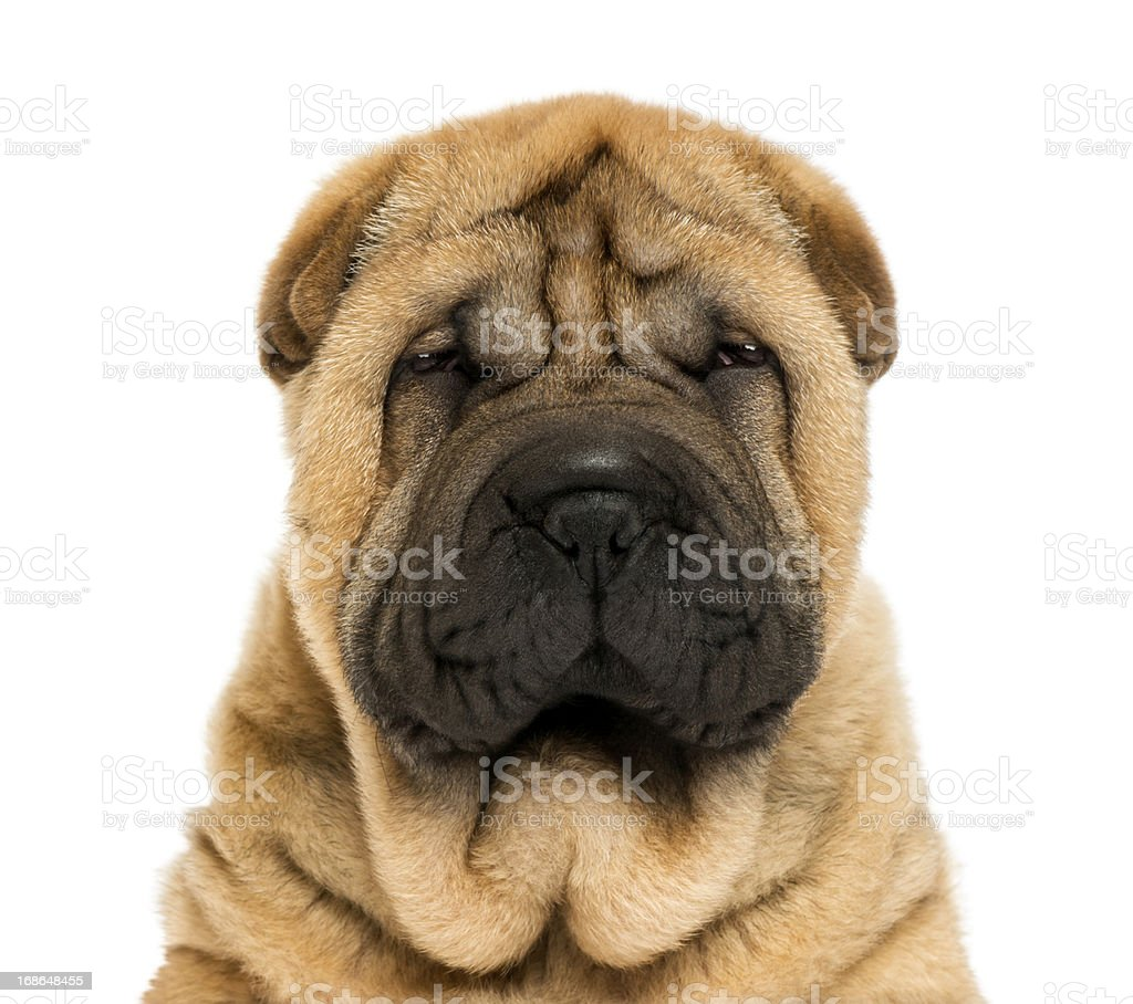Close-up on facing  Sharpei puppy head (11 weaks old) stock photo
