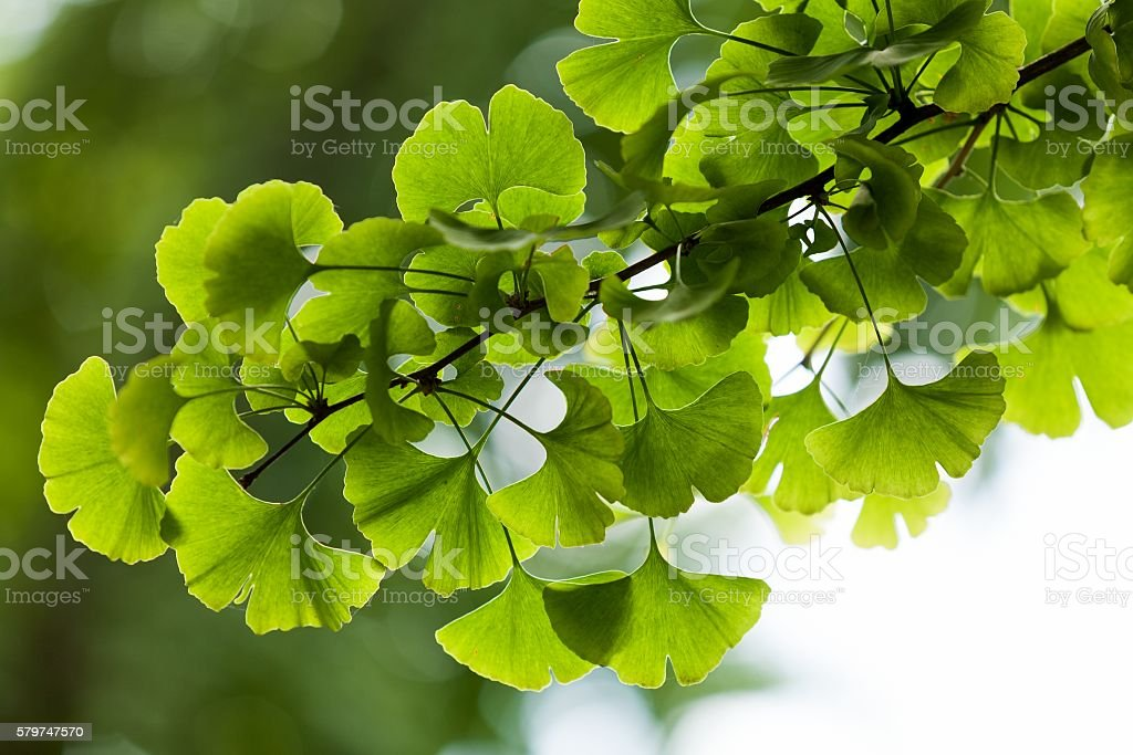 Close-up on Ginkgo Biloba tree stock photo