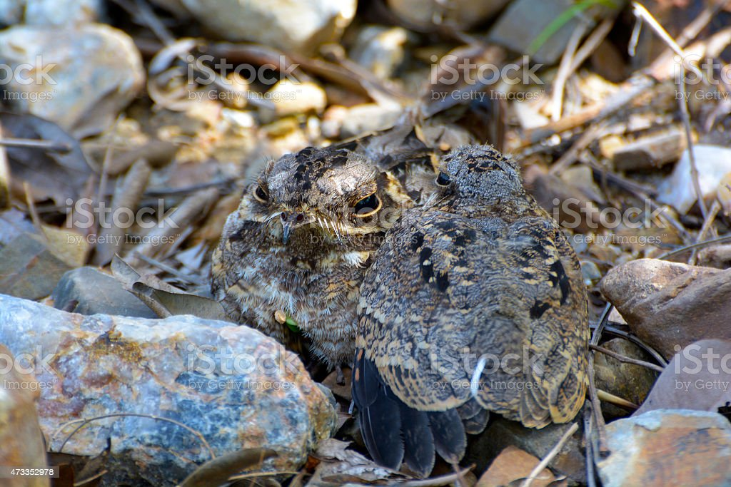 Closeup on Nightjar (Mother and Kid) hiding in nature royalty-free stock photo