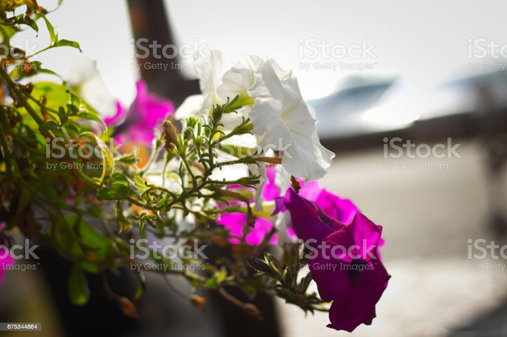 Closeup on pink and white flower stock photo