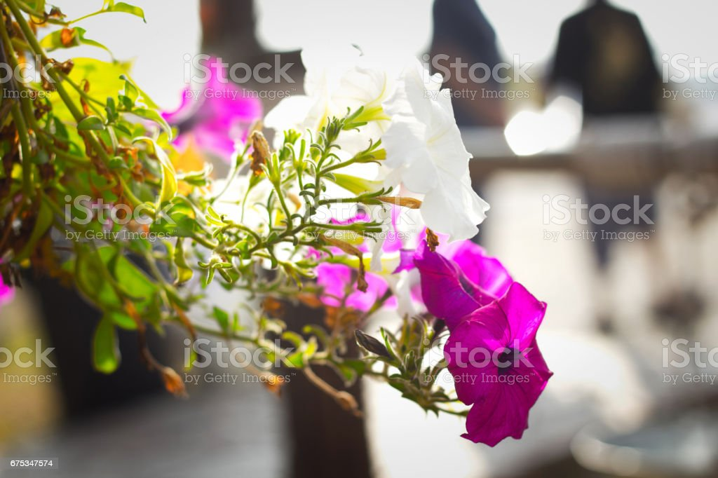 Closeup on pink and white flower with sunrise stock photo