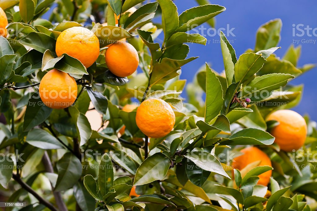 Closeup orange tree with oranges and leafs, against blue sky royalty-free stock photo
