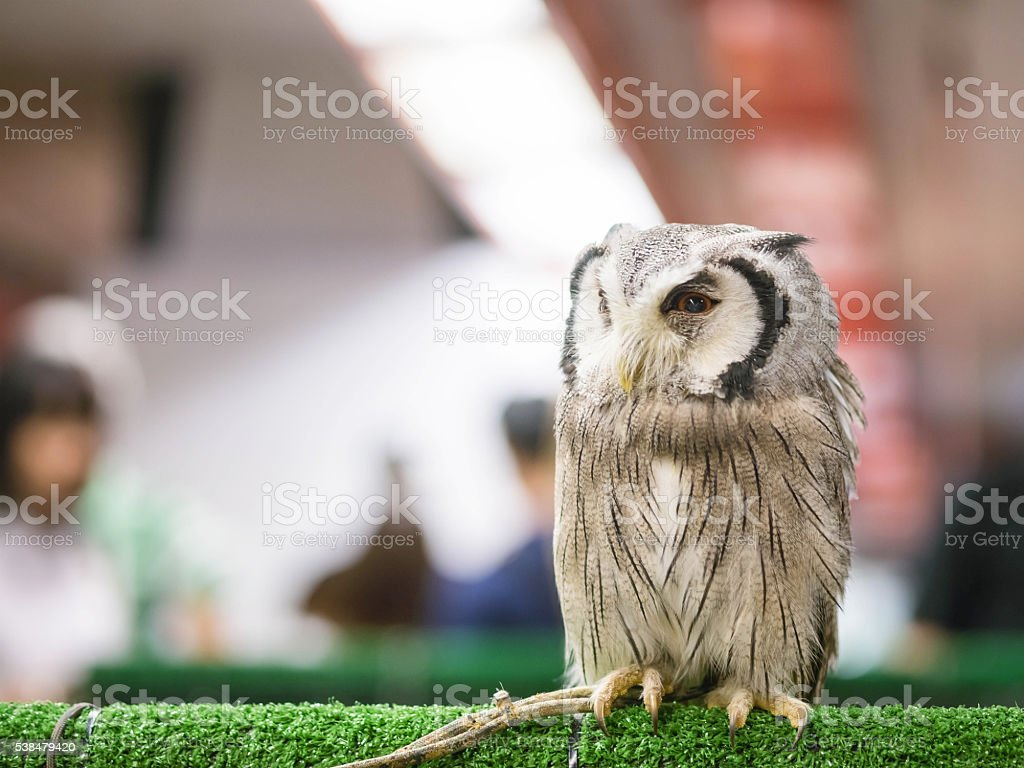 Closeup owl was rope tied at leg in animal fair stock photo