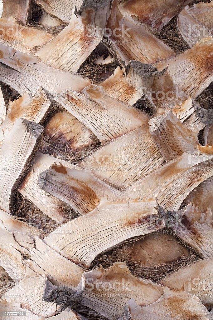 Closeup Palm Tree Texture royalty-free stock photo