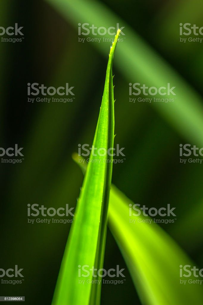 close-up pandan leaves nature background stock photo