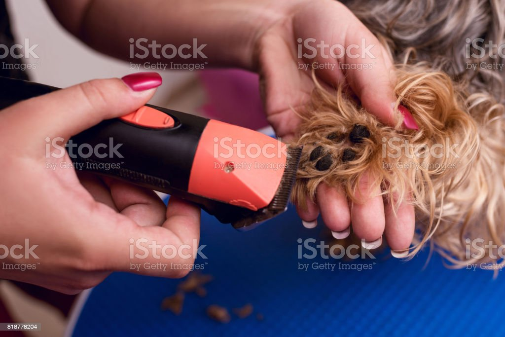 close-up partial view of groomer trimming paw of small furry dog stock photo