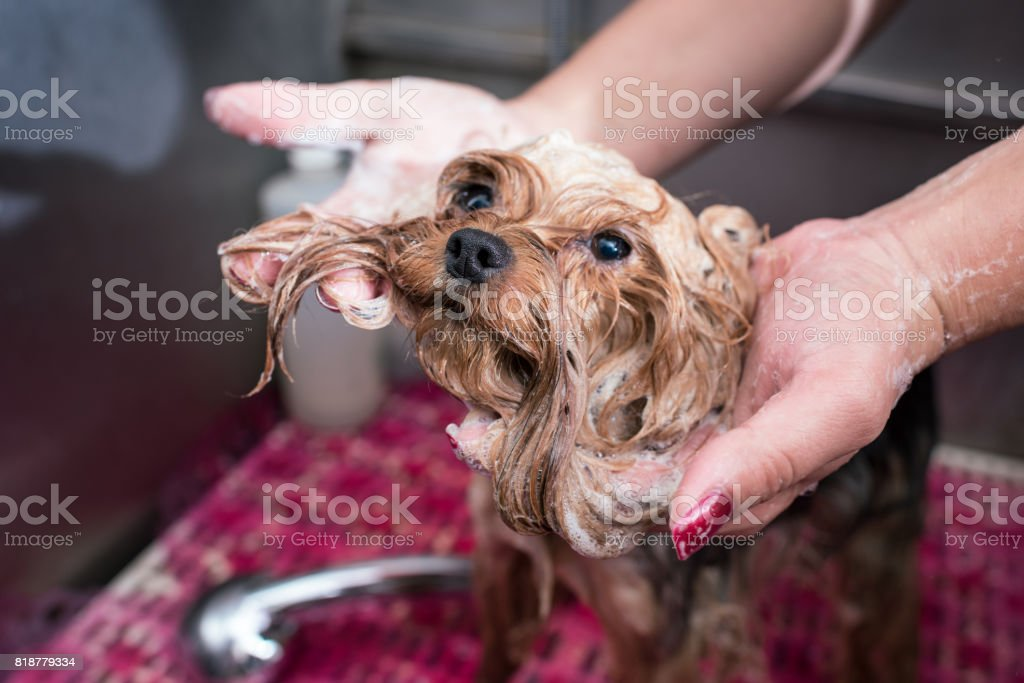 close-up partial view of groomer washing cute furry yorkshire terrier stock photo