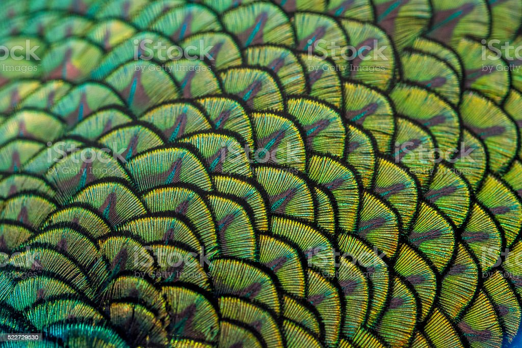 close-up peacock feathers stock photo