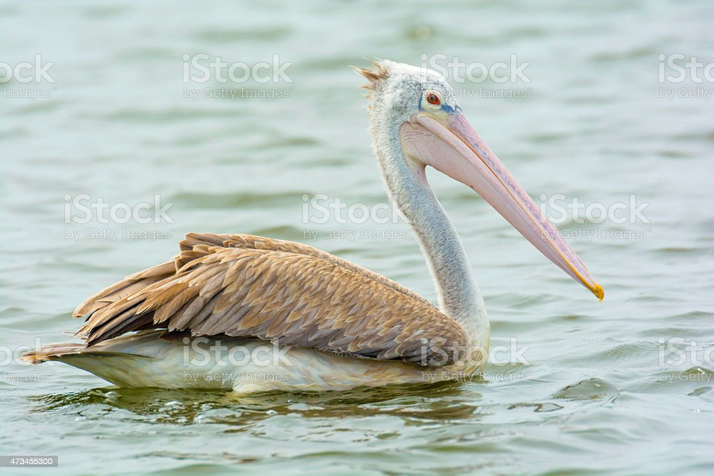 Closeup Pelican on water royalty-free stock photo