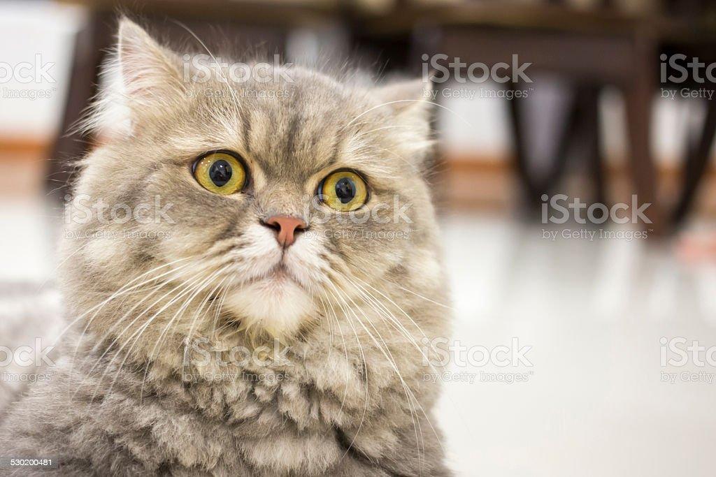 Closeup Persian cat stock photo
