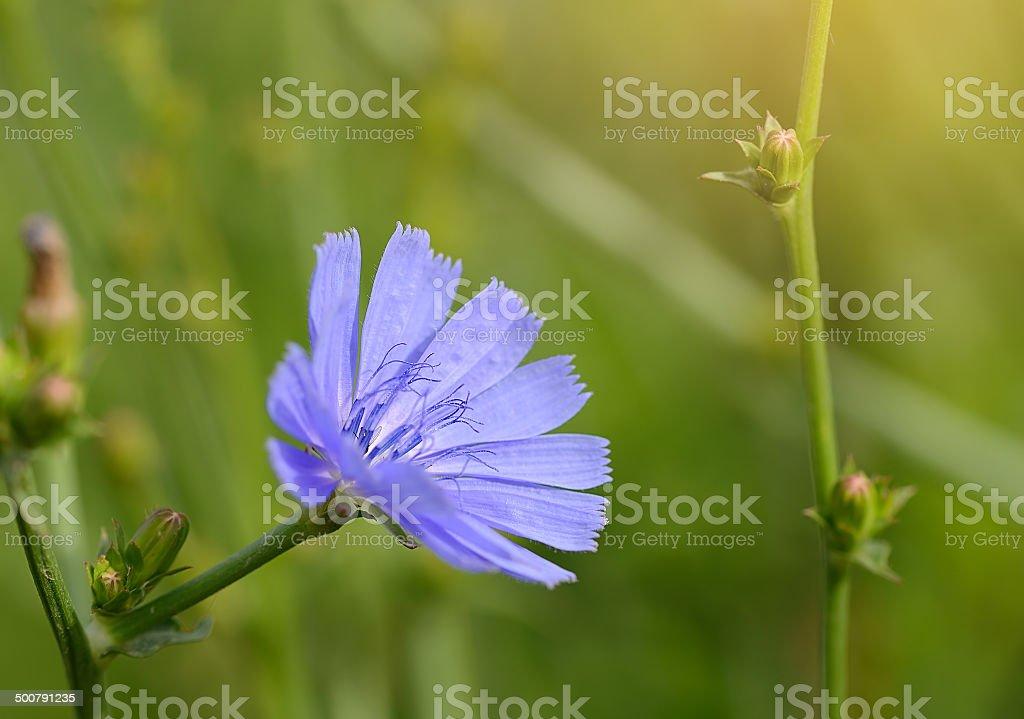 Closeup photo of a blue wildflower stock photo