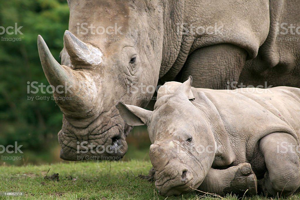 Close-up photo of a full grown and a young rhinoceros stock photo