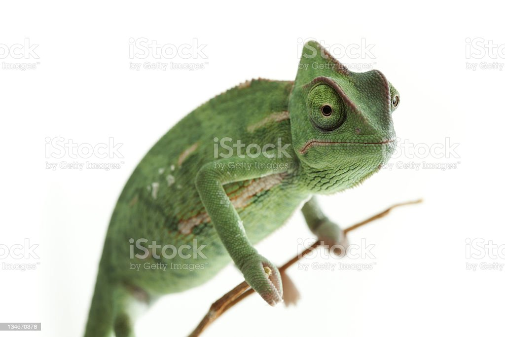 Close-up photo of a green chameleon on a twig stock photo