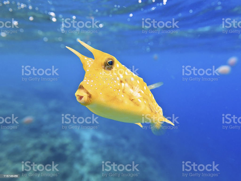 Close-up photo of a Longhorn Cowfish underwater royalty-free stock photo