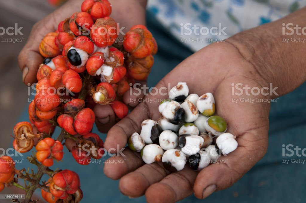 Close-up photo of a person's hands Guarana harvesting royalty-free stock photo