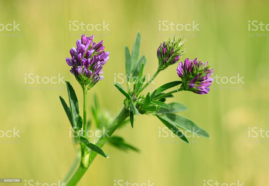 Closeup photo of a purple wildflower stock photo