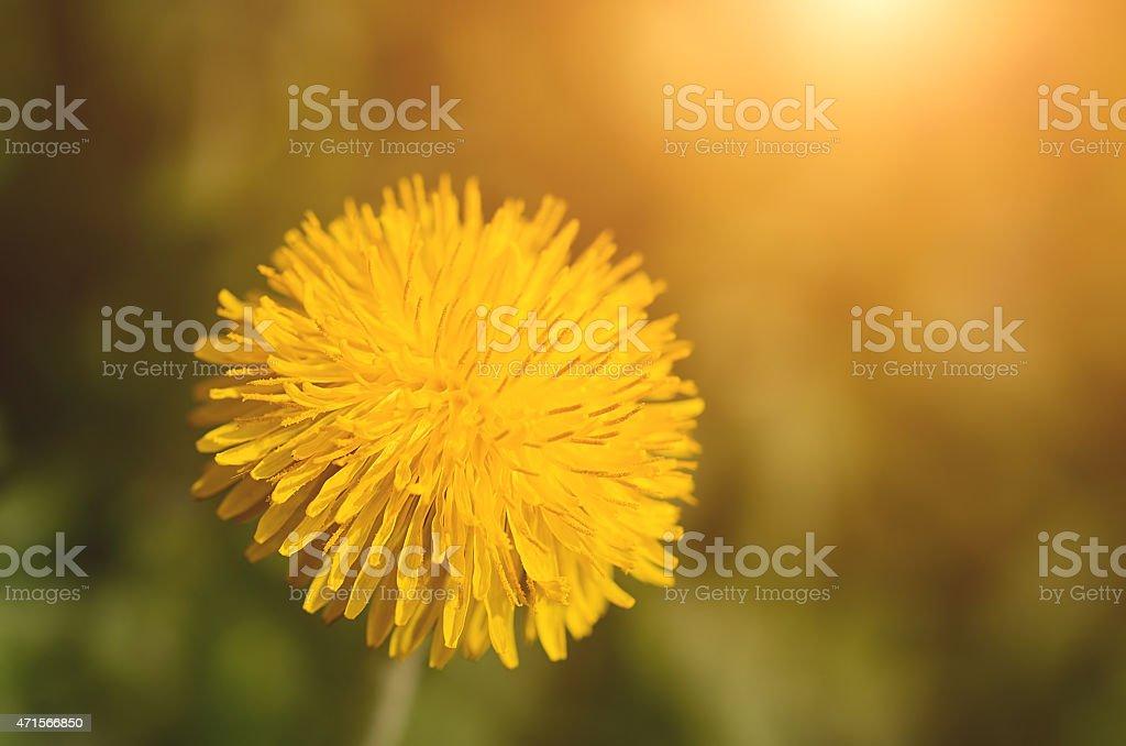 Closeup photo of a yelow dandelion stock photo
