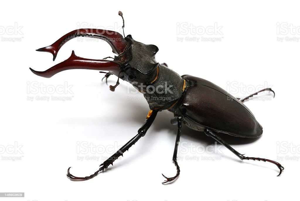 close-up photo of big stag-beetle royalty-free stock photo