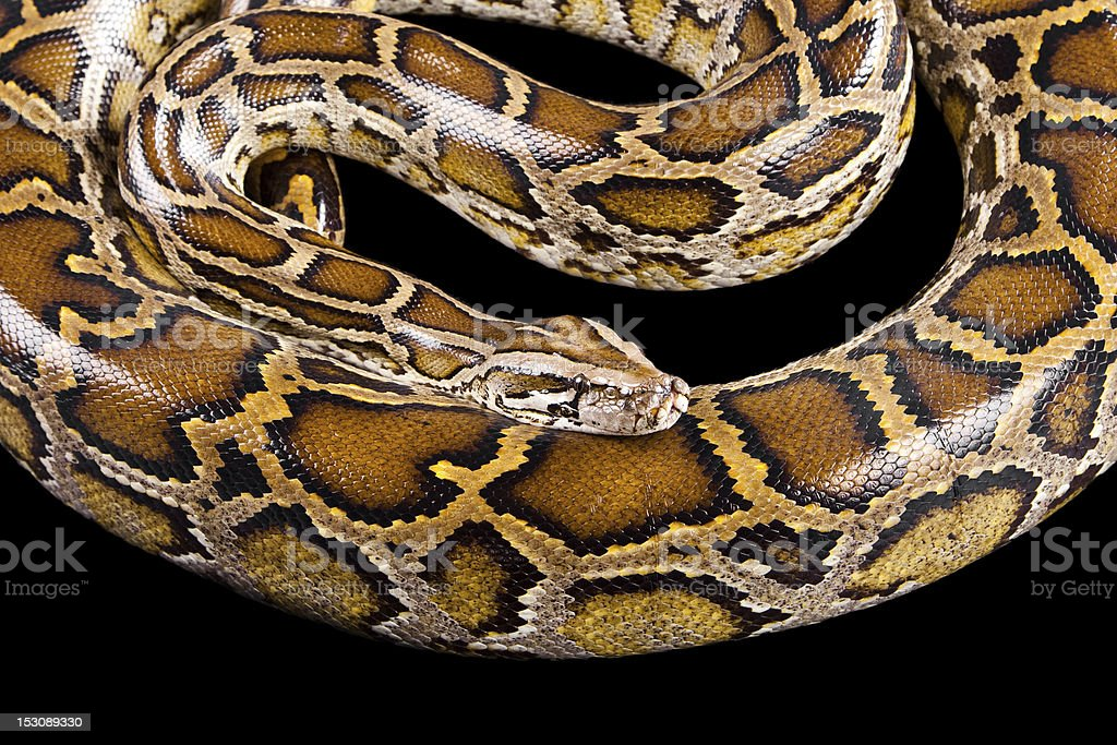 Close-up photo of burmese python royalty-free stock photo