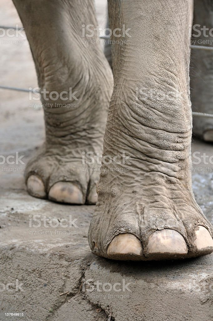 Close-up photo of elephant legs and feet royalty-free stock photo