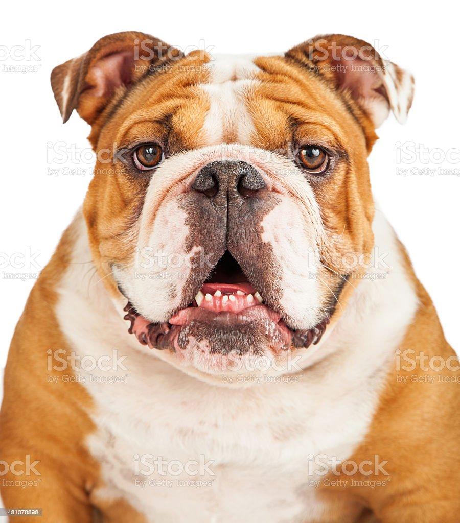 Close-up Photo of English Bulldog stock photo