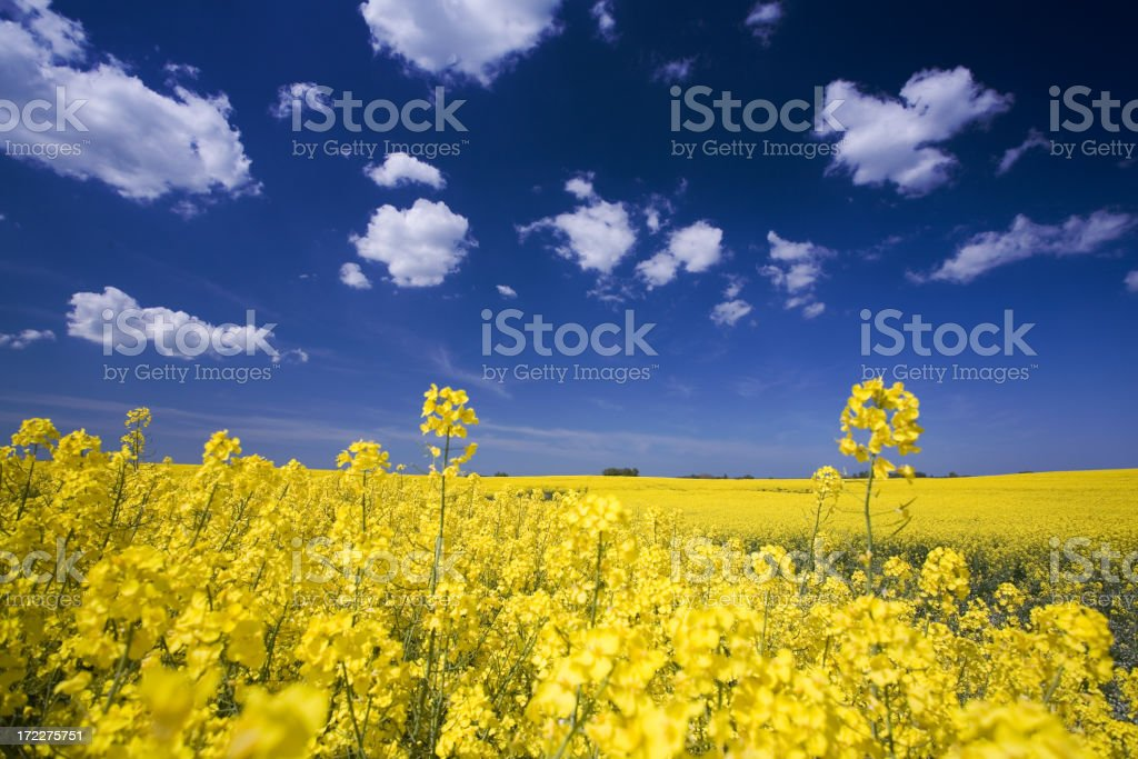 Close-up photo of flowers in a field and a bright blue sky royalty-free stock photo