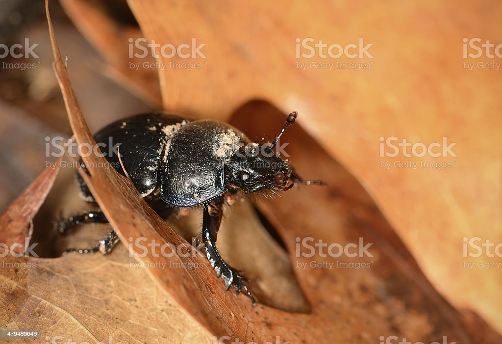 Closeup photo of Gnorimus Variabilis stock photo