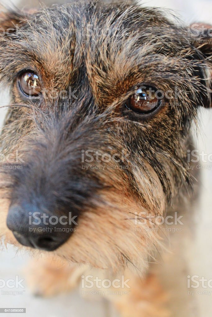 Close-up photo of little dog, breed Wirehaired Dachshund, selective focus stock photo