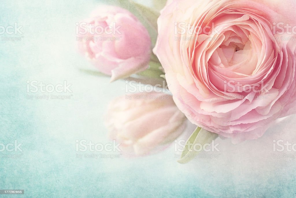 Close-up photo of pink roses on a light background royalty-free stock photo
